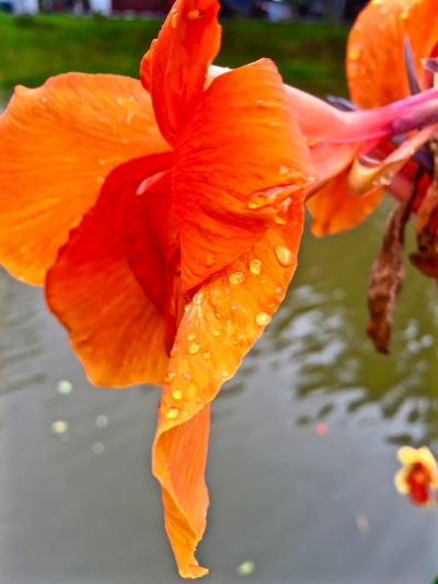 A flower on the river - Chiang Mai
